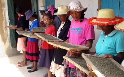 Distribution de vers à soie
